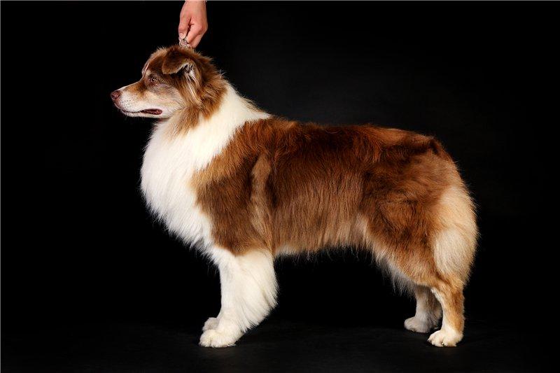 """Питомник """"Aurum Dog"""" 009dc6300c3a"""