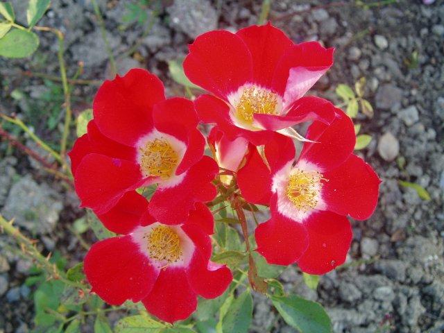 Парад хризантем в Никитском ботаническом саду. Крым  - Страница 2 483761c47498