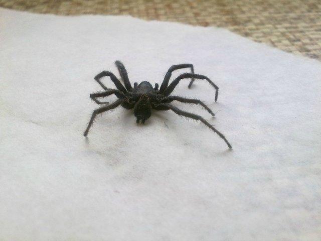 Черные и серые домашние пауки 7eca4fd980f7