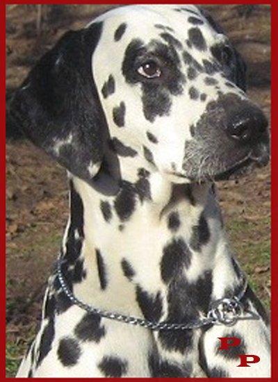 """Питомник """"Прима Персона"""". Мои собаки-моя жизнь! F2b52550431c"""
