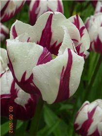Рай тюльпанов или Кёкнхов - 2012 58d1a46b8d26t