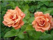 Розы-2013 Cbcc669364e2t
