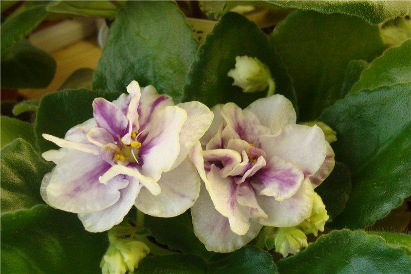 Весеннее  цветение (Хваст от Веры) - Страница 8 Db4f6f092f2f