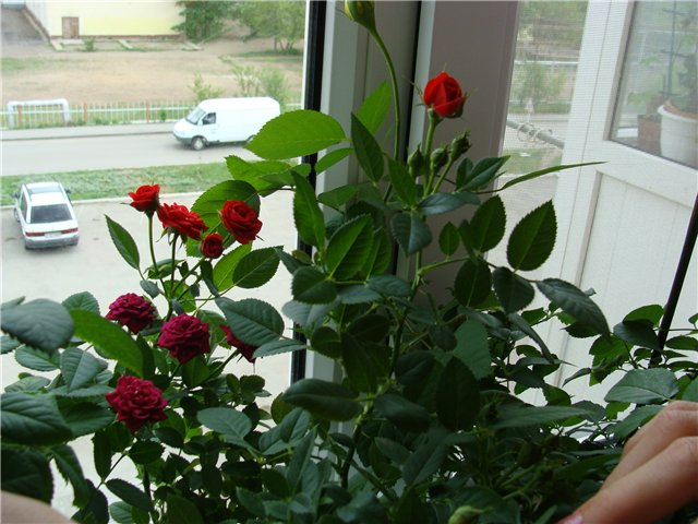 Комнатная роза 9724af804209