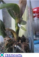 Странности и интересности наших орхидей Da52b8d3eb92t