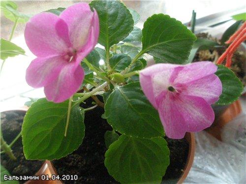 Бальзамин-уход, выращивание, размножение 2e0923d6211e