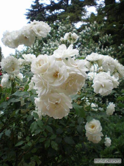 Крым. Никитский ботанический сад. 282beba38d78