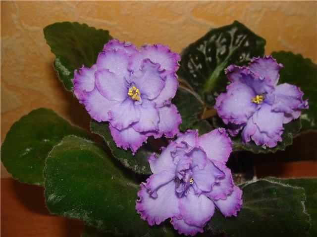 Весеннее  цветение (Хваст от Веры) - Страница 2 C85c4c85a605
