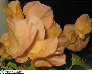 Бугенвиллея (Bougainvillea) - Страница 12 8c670ab5cbf1t