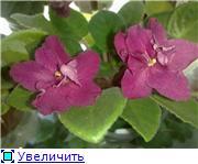 Продам цветущие фиалки в Алматы 55f3adb02500t