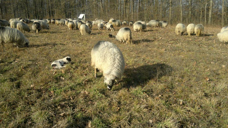 Travnička ovca pramenka 21464758_z