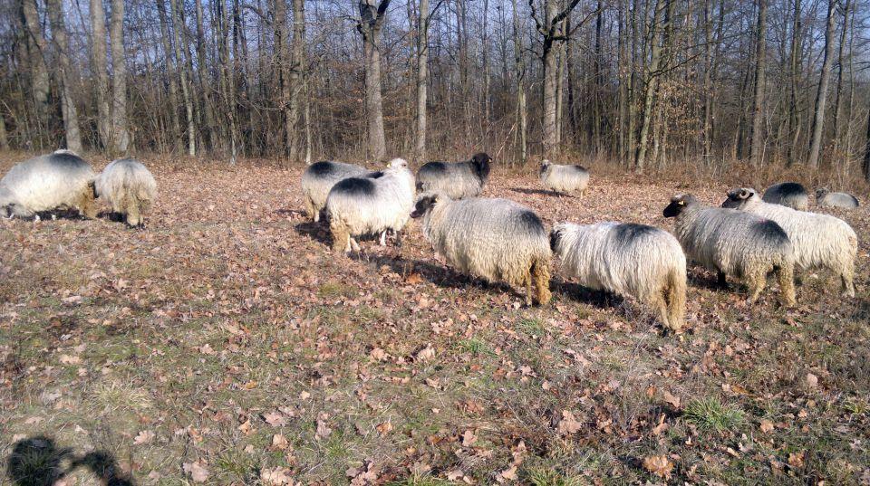 Travnička ovca pramenka 21464760_z