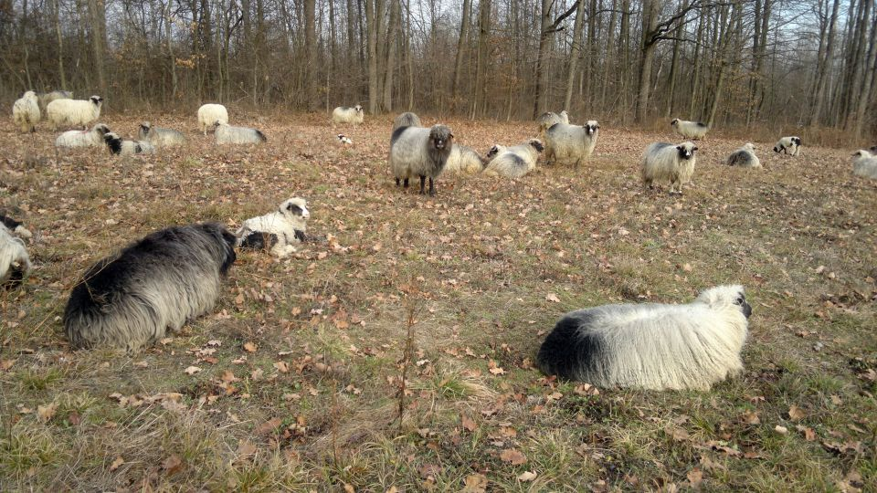 Travnička ovca pramenka 21464762_z