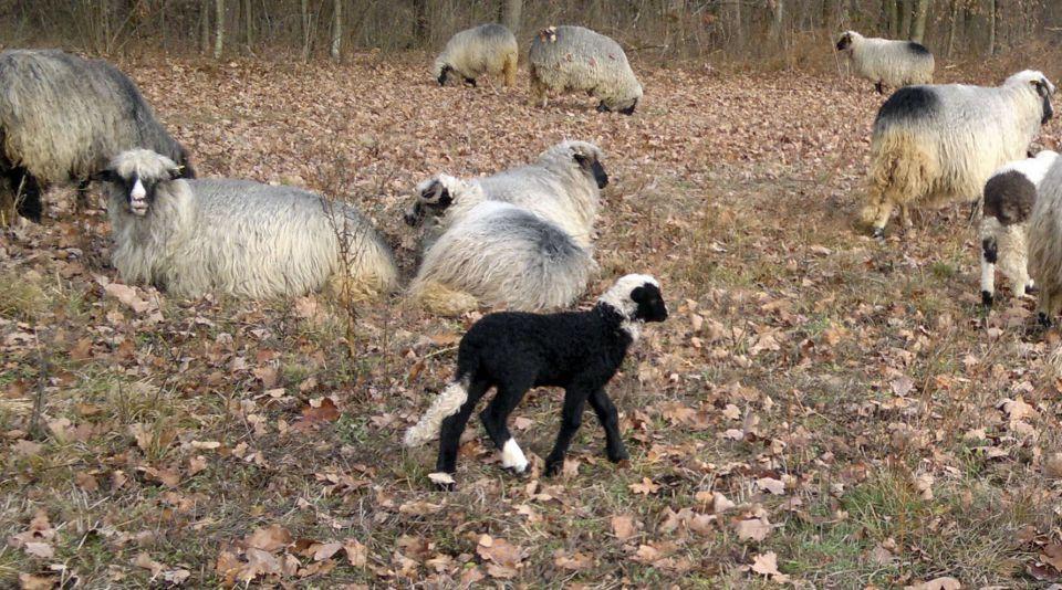 Travnička ovca pramenka 21464765_z