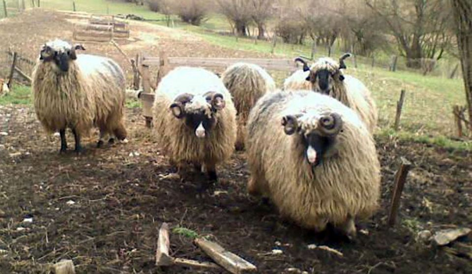 Travnička ovca pramenka 21464812_z