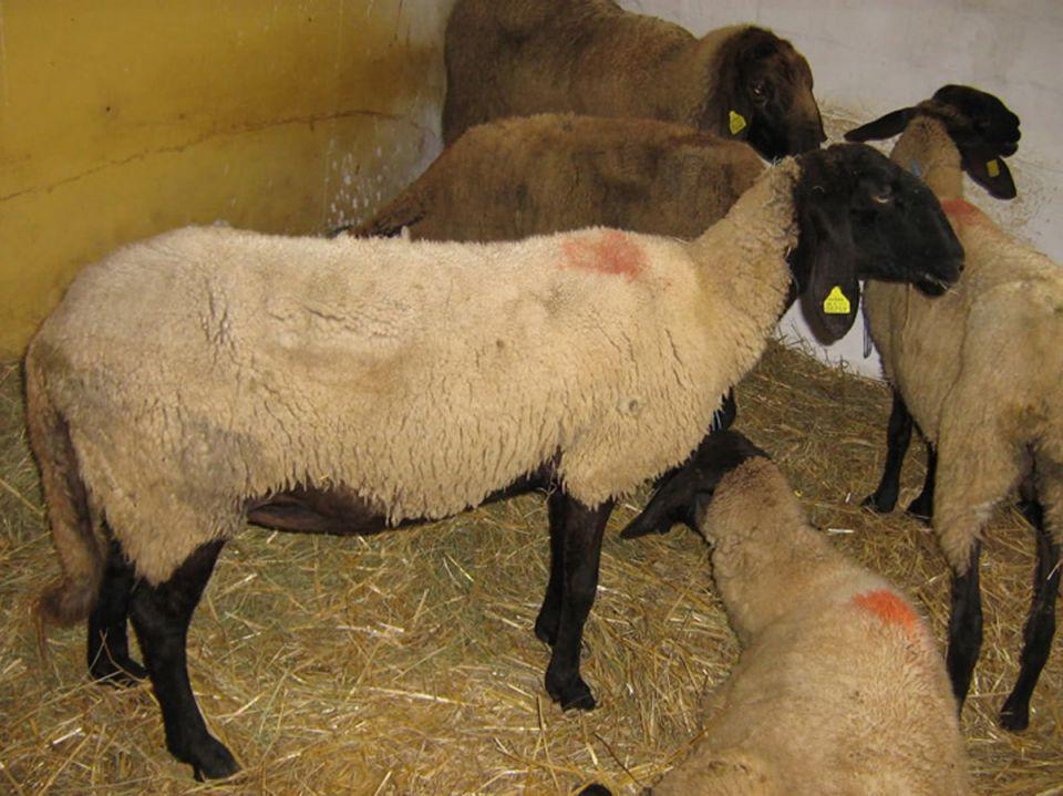 Cigaja ovca     21464872_z
