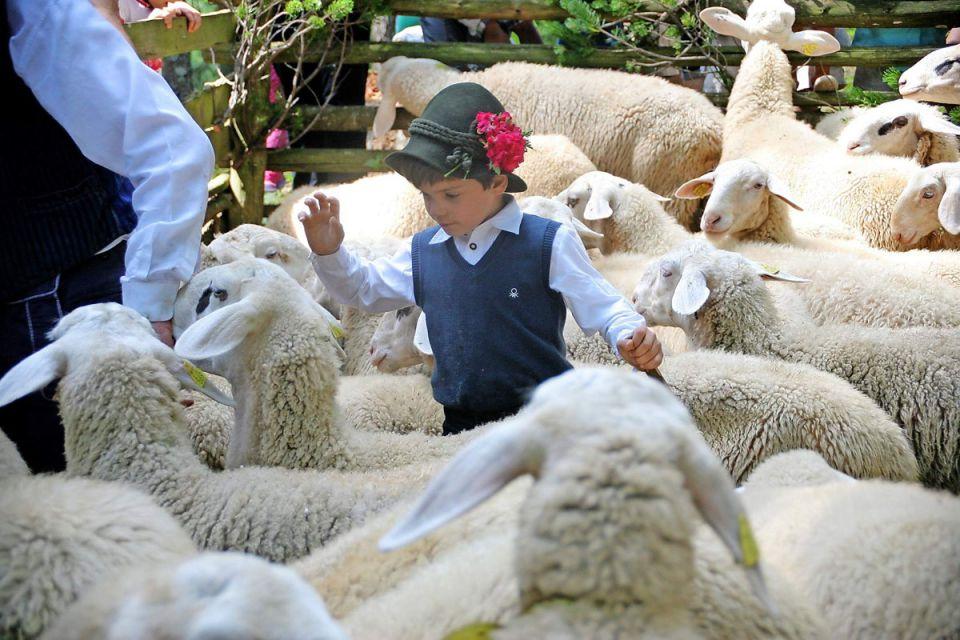 Solčavsko jezerska ovca 21464889_z
