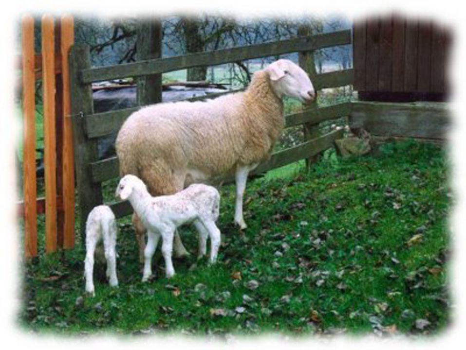 Solčavsko jezerska ovca 21464890_z
