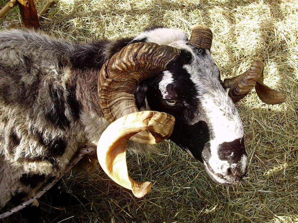 Istarska ovca pramenka 21465690_z