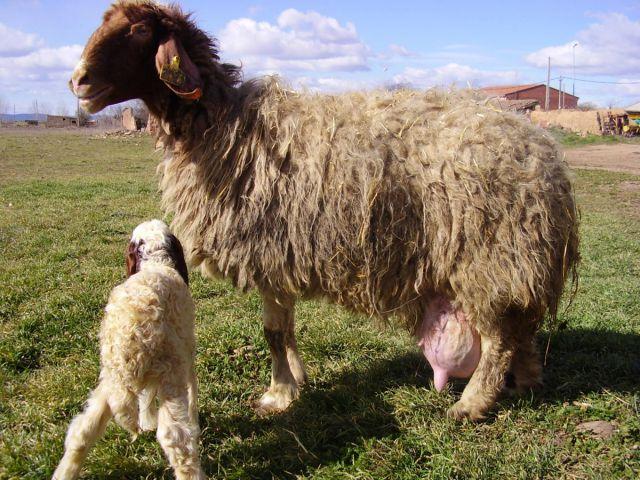 Awasi ovca 22963967