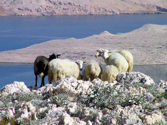 Paška ovca 22964109