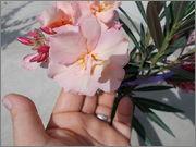 Nerium oleander - Pagina 11 DSCN1938