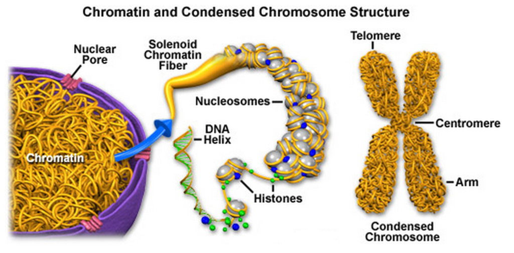 The amazing organisation and design of DNA, genomes, histones, nucleosomes chromosomes Molecular_Expressions_Cell_Biology_Chromatin_an