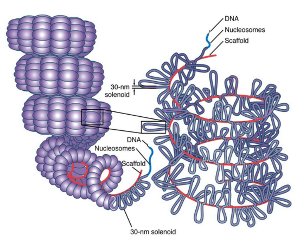 The amazing organisation and design  of DNA, genomes, histones, nucleosomes chromosomes Histone_Protein_Structure