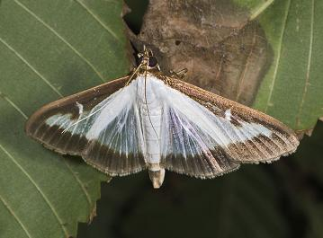 Introduced species and their habitats Box_tree_moth