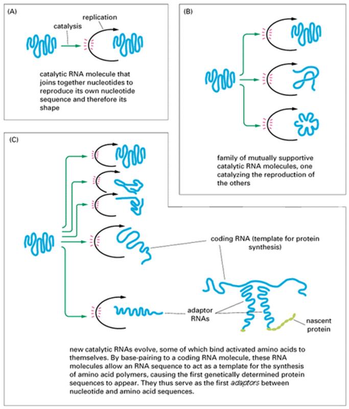 The RNA world, and the origins of life Www_bioon_com_book_biology_mboc_mboc_cgi_action