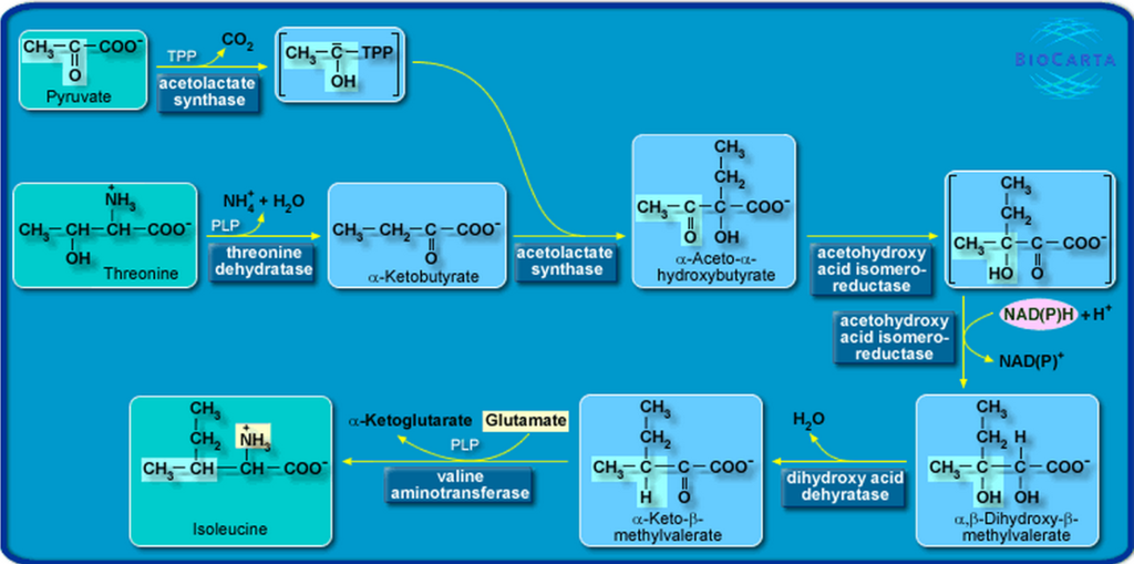 Amino Acids: Origin of the canonical twenty amino acids required for life Isoleucine_biosynthesis_pathway_Pesquisa_Googl