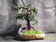 Chinese elm 102_5366