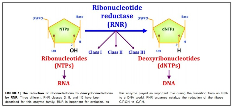 Ribonucleotide reductase, one of the most essential enzymes of life, and how it buries the RNA world Fcimb_04_00052_pdf_Page_1