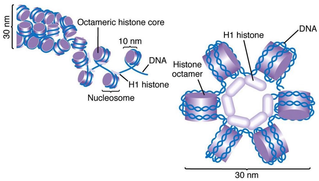 The amazing organisation and design of DNA, genomes, histones, nucleosomes chromosomes Histone_Pesquisa_Google