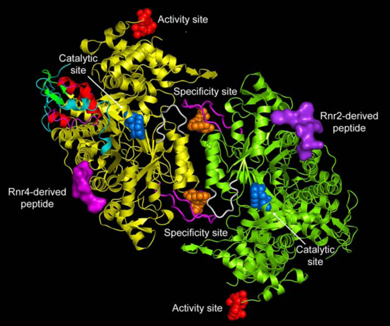 Ribonucleotide reductase, one of the most essential enzymes of life, and how it buries the RNA world Pharmaceuticals_04_01328f1_png_1000_750