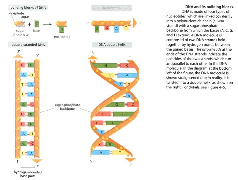 The DNA double helix - evidence of design Xxxxxx