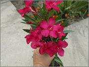 Nerium oleander - Pagina 11 DSCN1951