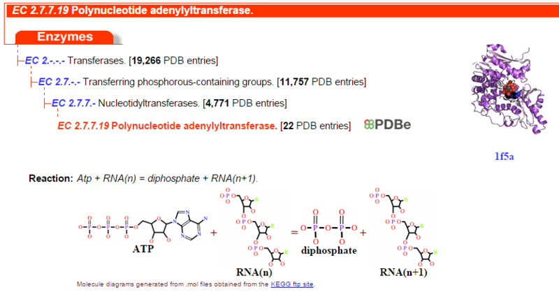 The RNA polymerase enzyme and its function, evidence of design EC_2_7_7_19_Polynucleotide_adenylyltransferase
