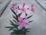 Nerium oleander - Pagina 11 DSCN1935
