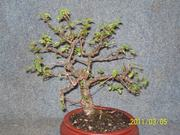 Chinese elm Image