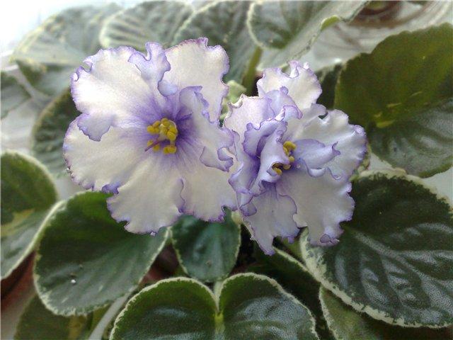 Продам цветущие фиалки в Алматы 65fe89af5b69