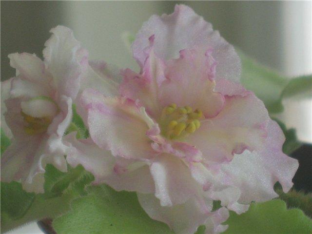 Мои цветики-семицветики 66a34334392d