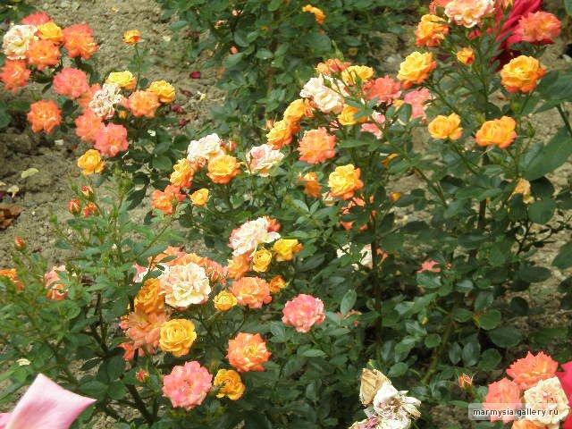 Крым. Никитский ботанический сад. - Страница 2 8da295354d7a