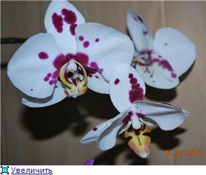 Фаленопсисы гибридные 75c6a9587530t