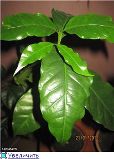 Кофейное дерево - Страница 6 574c4fd7281at