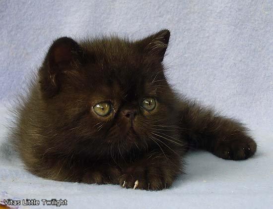 VITAS LITTLE - питомник персидских и экзотических кошек - Страница 4 A4bc94f83d14