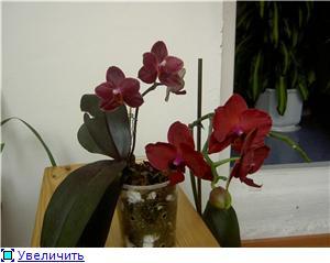 Фаленопсисы гибридные - Страница 2 740f8f532423t
