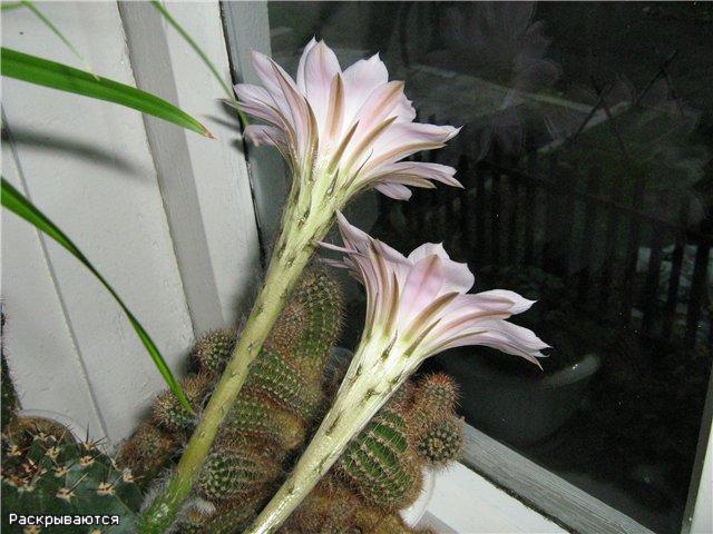 Моё цветочное богатство - Страница 2 A3da4b487975
