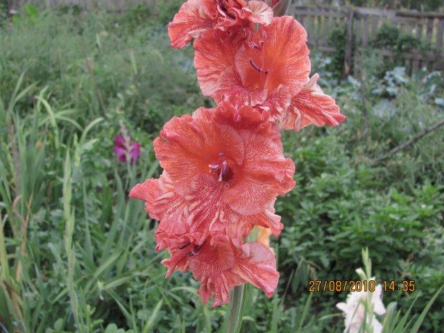 Мои садовые - Страница 2 4c5d7752f0ee
