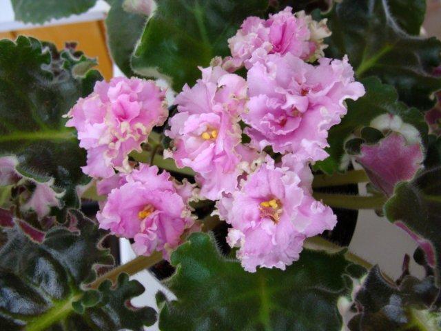 Мои цветочки - Страница 21 Da774212edf2